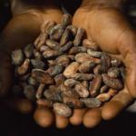 fèves de cacoa séchées