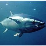 Le thon rouge, en voie d'extinction
