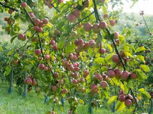 Les pommes bio encore mésestimées en France