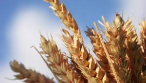 du gluten, pour 80% de protéines