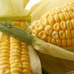 le mais de plus en plus OGM