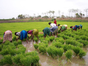 riz basmati (Inde et Pakistan)