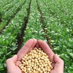 Des cultures de soja souvent OGM