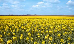 colza, l'une des plantes existant en OGM