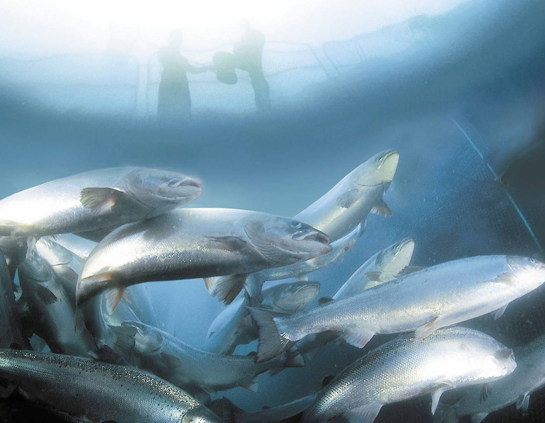 Poissons d levage avec ou sans farines animales for Elevage poisson rouge