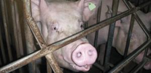 porc élevage caillebottis