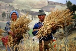 quinoa pseudo-céréale