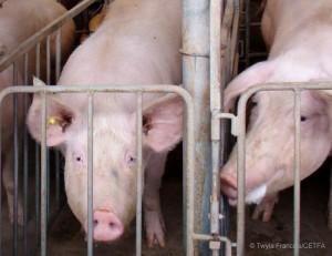 porc élevage