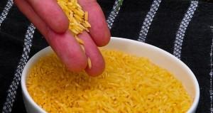 riz OGM