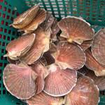 coquilles Saint-Jacques Fruits de mer