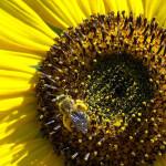 pollen abeilles