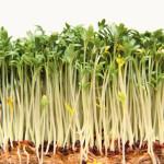 Lentilles et autres graines germées