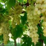raisin sans pépins