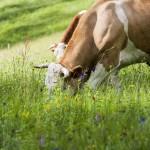 oméga 3 vaches prairies