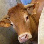 Abattage règlementé et respect des animaux