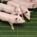 antibiotiques élevage santé