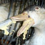 foie gras souffrance