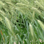 glyphosate herbes Round up