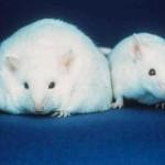 souris gene obesite