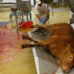 Abattoirs et souffrance animale, les consommateurs choqués