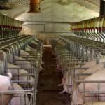 Du porc américain aux anabolisants