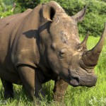 rhinocéros Afrique