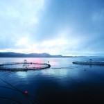 Le paradoxe du saumon bio contaminé