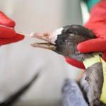 La grippe aviaire H5N8 : le risque pour l'homme